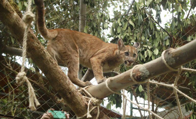 Puma hembra incautado en Bogotá fue reubicado en Garagoa, Boyacá